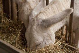 élevage d'ânes Montebaducco